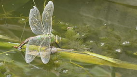 Emperor Dragonfly on reeds stock video footage