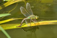 Emperor Dragonfly and reflection Stock Images