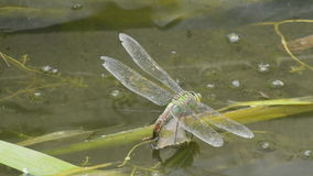 Emperor Dragonfly on water stock video
