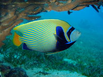 Emperor fish. A emperor fish in the Red Sea Royalty Free Stock Photo