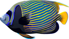 Emperor fish. In vector file format vector illustration