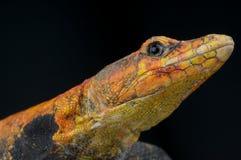 Emperor Flat Lizard Stock Photo