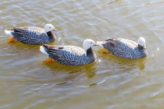 Emperor Geese swimming in water Anser canagicus. Wildlife stock photography