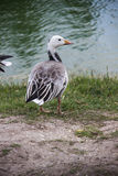 Emperor goose Royalty Free Stock Images