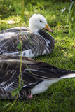 Emperor goose Royalty Free Stock Photography
