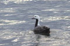 Emperor goose floating on the coast Stock Images