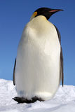 Emperor, the largest of the pen. Photo taken in Weddell sea (Antarctic Royalty Free Stock Image