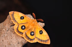 Emperor moth, Aglia tau Stock Photography