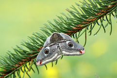 Emperor moth (Eudia pavonia). Huge emperor moth sitting on a spruce branch Royalty Free Stock Image
