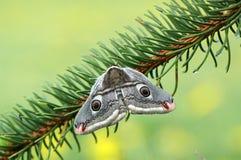 Emperor moth (Eudia pavonia) Royalty Free Stock Image