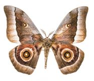 Free Emperor Moth Moth Isolated On White Royalty Free Stock Photo - 154502535