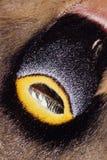 Emperor Moth Wing Detail 2. Detail shot of an eye spot on the wing of an Emperor Moth Stock Image