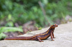 Emperor Newt. An endangered red and orange spotted emperor newt stands on the concrete of a highway, readying himself to cross royalty free stock photos