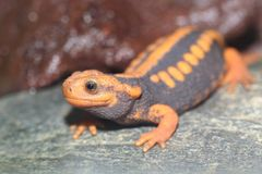 Emperor newt. Lying on the rock stock images