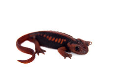 The emperor newt on white Stock Image