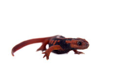 The emperor newt on white Stock Images