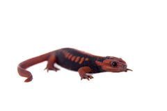 The emperor newt on white Royalty Free Stock Photography