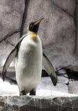 Emperor pengiun. An emperor penguin at a local zoo stock photo