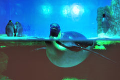 Emperor penguin. Some emperor penguins in the aquarium Stock Photography