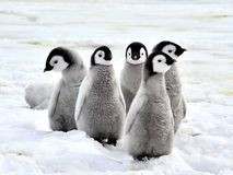 Free Emperor Penguin Stock Photos - 16891333