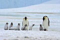 Emperor Penguin Royalty Free Stock Photo