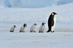 Emperor Penguin. With chicks Snow Hill, Antarctica 2010 on the icebreaker Kapitan Khlebnikov Stock Photo