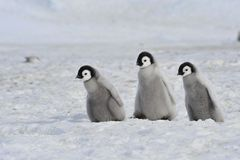 Emperor Penguin Royalty Free Stock Photography