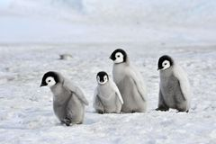 Emperor Penguin. Chicks Snow Hill, Antarctica 2010 on the icebreaker Kapitan Khlebnikov stock image
