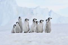 Emperor Penguin. Chicks Snow Hill, Antarctica 2010 on the icebreaker Kapitan Khlebnikov
