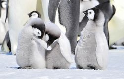 Emperor Penguin Royalty Free Stock Photos
