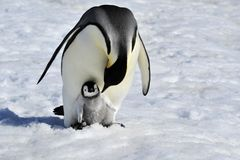 Emperor Penguin. With chick Snow Hill, Antarctica 2010 on the icebreaker Kapitan Khlebnikov