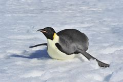 Emperor Penguin. Snow Hill, Antarctica 2010 on the icebreaker Kapitan Khlebnikov royalty free stock image