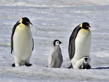 Emperor Penguin royalty free stock image