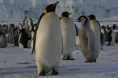 Emperor penguin. Ross Sea - 19.11.2005 Stock Photos
