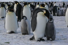 Emperor Penguin. Antarctica - Ross sea, colony of penguins royalty free stock image