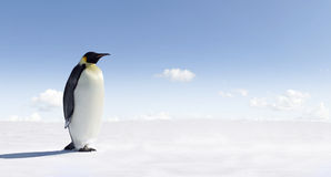 Emperor Penguin in Antarctica Stock Photo