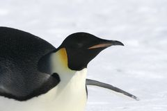 Emperor penguin (Aptenodytes forsteri). Close-up of an emperor penguin (Aptenodytes forsteri) on the ice in the Weddell Sea, Antarctica Royalty Free Stock Photography