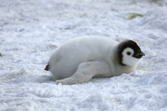 Emperor penguin (Aptenodytes forsteri) Stock Images