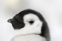Emperor penguin (Aptenodytes forsteri). Close-up of an emperor penguin (Aptenodytes forsteri) on the ice in the Weddell Sea, Antarctica Stock Photos