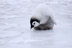 Emperor penguin (Aptenodytes forsteri). Emperor penguin chick (Aptenodytes forsteri) on the ice in the Weddell Sea, Antarctica stock photo