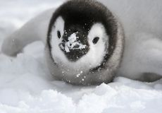 Emperor penguin (Aptenodytes forsteri) Royalty Free Stock Photos