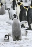 Emperor penguin (Aptenodytes forsteri) Royalty Free Stock Photos