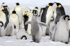 Emperor penguin (Aptenodytes forsteri). Emperor penguin chick (Aptenodytes forsteri) on the ice in the Weddell Sea, Antarctica stock images