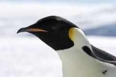 Emperor penguin (Aptenodytes forsteri). Close-up of an emperor penguin (Aptenodytes forsteri) on the ice in the Weddell Sea, Antarctica Stock Photo