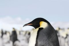Emperor penguin (Aptenodytes forsteri). Close-up of an emperor penguin (Aptenodytes forsteri) on the ice in the Weddell Sea, Antarctica Stock Photography