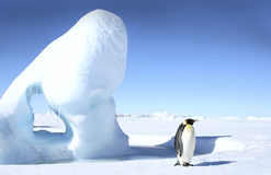 Emperor penguin (Aptenodytes forsteri) Stock Photo