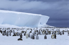 Emperor Penguin (Aptenodytes forsteri) colony and iceberg stock photo