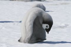 Emperor penguin chick Royalty Free Stock Photography