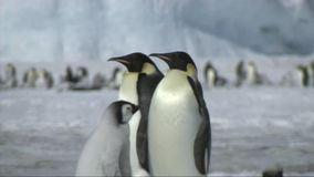 Emperor penguin chick asking for food stock video