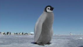 Emperor penguin chick stock video